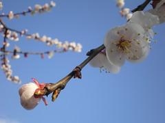 Flowers #8 (tt64jp) Tags: blue sky plants white plant flower color colour nature floral fleur colors japan japanese spring flora blossom flor bloom  apricot flowering bud  blume     flore kiryu