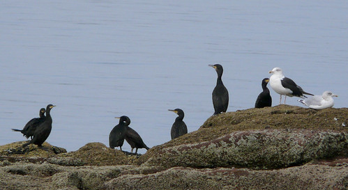 Cormorants 25Sep08