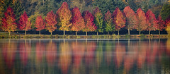 red trees, green lake (dotintime) Tags: show seattle autumn reflection fall leaves mirror colorful vanity line greenlake flame short tall blaze multicolored maples chlorophyll aligned 7daysofshooting week16reflection psychedelicsaturday