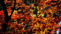 .Autumn Calling. (.niCky.) Tags: november autumn red leaves leaf maple nikko   autumnal  50mmf18