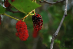 Red Mulberry turning black