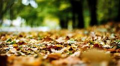 sunday mornings (Lani Barbitta) Tags: autumn fall leaves dof bokeh depthoffield explore shallow 50mm18 nikond80 lanibarbitta