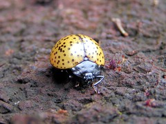 Fungus Beetle (Family: Erotylidae) (Arthur Chapman) Tags: peru amazon insects iquitos beetles coleoptera insecta erotylidae taxonomy:class=insecta fungusbeetle taxonomy:order=coleoptera fungusbeetles geocode:accuracy=2000meters geocode:method=googleearth geo:country=peru taxonomy:family=erotylidae taxonomy:common=fungusbeetle