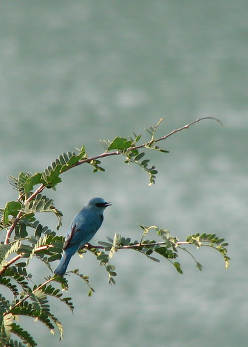 Verditer FlyCatcher - Unprocessed