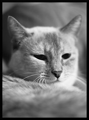 kitten1 (hotelyankeefoxtrot) Tags: cats cat feline bokeh whiskers sleepy meow paws fifty nifty canon50mmf18ii canonrebelxti