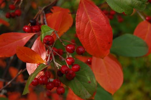 Appelbes u0026#39;Brilliantu0026#39; (Aronia arbutifolia u0026#39;Brilliantu0026#39;) : MijnTuin.org