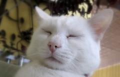 tired cat (Maʝicdölphin) Tags: white cat canon powershot sleepy a590
