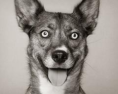 Roxie (6) (Piotr Organa) Tags: portrait bw dog pet white toronto canada black cute smile face smiling animal puppy husky shepherd german anawesomeshot aplusphoto pet500 goldstaraward flickrlovers 100commentgroup