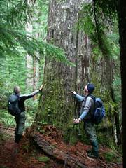 Gigantic Alaskan Yellow Cedar and hikers