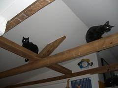 Blixa og Mónakó (unnurmaria) Tags: cats haiku kittens blixa kettir seljavegur kettlingar mónakó