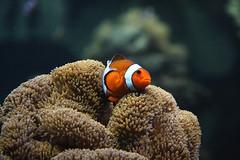 [フリー画像] [動物写真] [魚類] [カクレクマノミ/クラウンフィッシュ] [イソギンチャク]       [フリー素材]