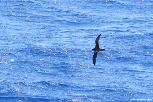 長尾水薙鳥 Wedge-tailed Shearwater