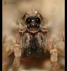 Spider on Reverse Lens (AnNamir c[_]) Tags: macro closeup eos 350d spider bravo reverselens macrography canonmacro flickrsbest specanimal ebls goldstaraward annamir