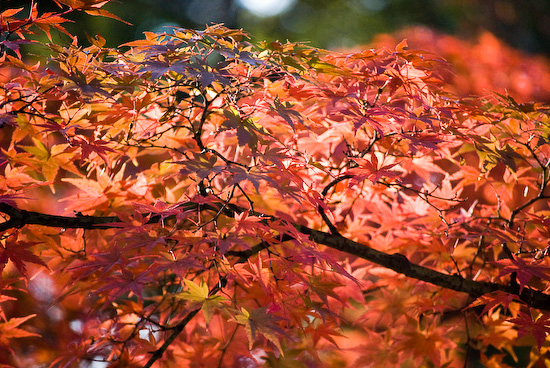 maple leaves_1089