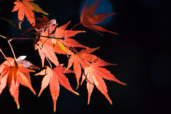 maple leaves_1125