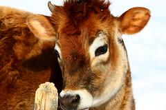 Teen Cow