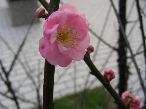 十三行博物館-桃花