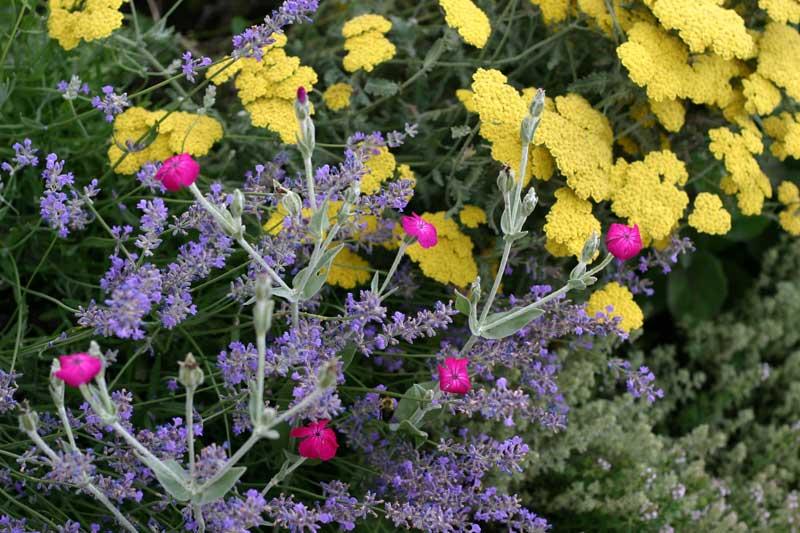 yarrow-lavendar-lychnis