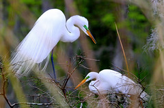 Spring nesting! (Jim Vail Photos) Tags: birds canon destin nesting greategrets jimvail jimvailphotos destinphotos
