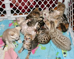 JungleLure Legend Line of Bengals: Kittens shown here are 5 weeks and 6 weeks old (Junglelure) Tags: angel florida karma bengals legend bengal snowleopard citruscounty homosassa snowleopards rosetted bengalkittens seallynx spottedsnow snowbengals sealsepia junglelure sealminkbengal snowkittens leopardkittens sealminkmarbled marbledsnow leopardbengals leopardspottedkitten leopardspottedbengal