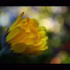 Calendula-keh... (Mary Trebilco) Tags: light flower macro green nature colors yellow canon garden spring colours bokeh tasmania marigold devonport calendula hggt canoneos1000d ayearinmygarden