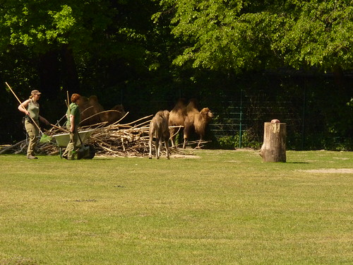 Jungkamel im Mai im Tierpark Berlin-Friedrichsfelde