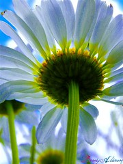 Single Daisy (balderson626) Tags: light sun flower nature beautiful set shine daisy comment flickraward quot100 groupquot 100commentgroup ringexcellence