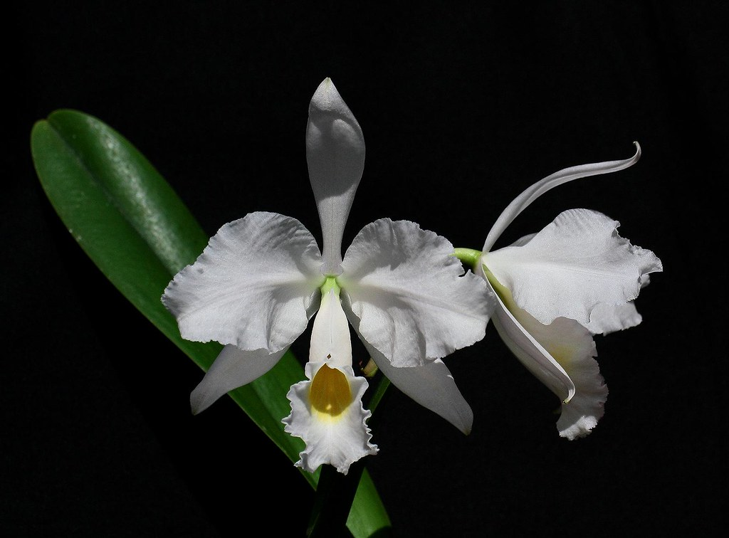 Cattleya trianaei albescens 'Buga'_01