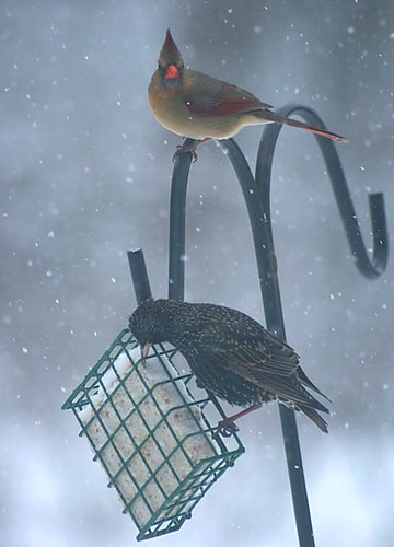 Starling and cardinal