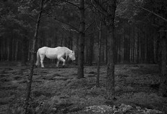 Deer Pony (couscousdelux) Tags: bw horse nature forest scotland woods glenshee braemar deerpony couscousdelux