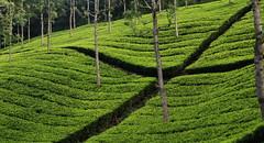 11 Tea gardens