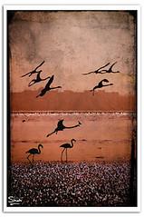 Migration (Hussain Shah.) Tags: texture birds d50 nikon silhouettes free sigma kuwait migration 70300mm trade zone kuwaiti shuwaikh shah hussain muwali