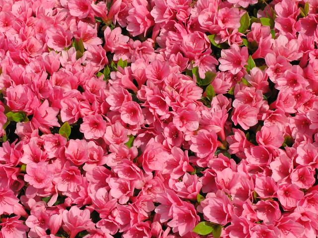Azalea / Rhododendron / 躑躅(ツツジ)