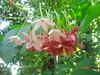 Quiscalis (roshkouva) Tags: flower nature creeper rangoon