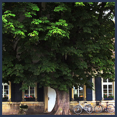 old tree (Frizztext) Tags: trees tree germany square interesting explore brewery chestnut muenster munster chestnuttree muensterland 500x500 havixbeck frizztext 20080604 cafeklute