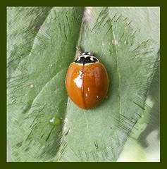 spotless ladybug (~*deerie*~) Tags: bug insect ladyb