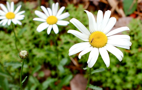Daisies & tiny bee