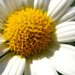 Margerite (Leucanthemum vulgare) (Batikart ... handicapped ... sorry for no comments) Tags: summer white plant flower macro nature yellow canon germany deutschland flora europa europe blossom sommer natur pflanze meadow wiese gelb blume makro wildflower blte canonpowershot a610 fellbach badenwrttemberg leucanthemum margerite swabian weis vulgare wildblume canonpowershota610 10faves viewonblack batikart