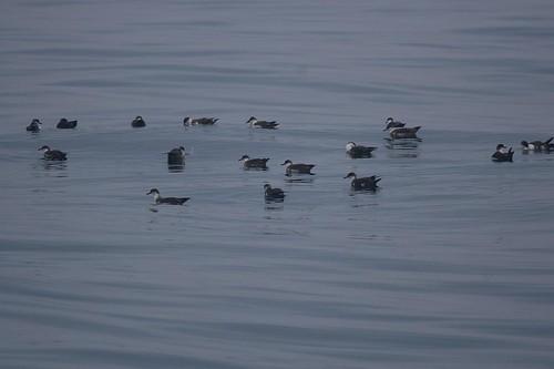 Shearwater flock