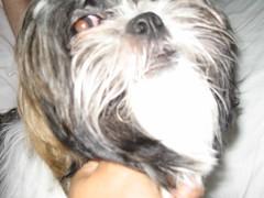 Ms. Little Twinkle again ( FuzzyShots) Tags: dog shihtzu twinkle