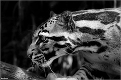 On the Prowl... (andrewwdavies) Tags: england blackandwhite bw monochrome project sumatra mono focus asia soft south harry east leopard breeding borneo softfocus species endangered captive effect rare bigcats hertfordshire orton indochina clouded welwyngardencity canonef50mmf14usm santago canonextenderef14xii neofelisnebulosa canonef70200mmf28lisusm canonextenderef2xii canoneos40d andrewwilliamdavies