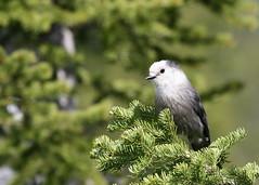canada bird nationalpark jay alberta watertonlakes grayjay