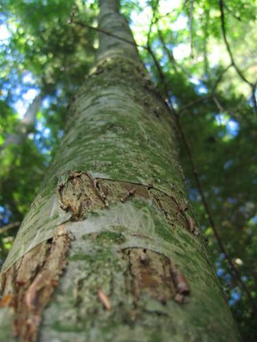 Delicious birch bark