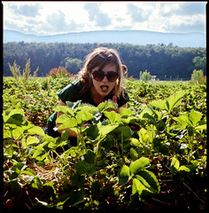 strawberry fields (nina_westervelt) Tags: sunshine fruit courtney kodakportra400vc upstate hasselblad summertime picking strawberryfield saugertiesny