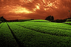 Green Tea (/\ltus) Tags: japan pentax surreal freehand greentea shizuoka hdr 5xp japanhdr k20d