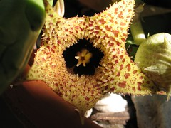 Huernia herrei (epiforums) Tags: apocynaceae huernia asclepiad stapeliad