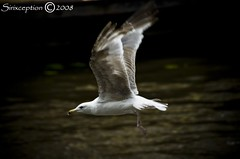 Wings (sirixception) Tags: colour nature netherlands birds animals leiden meetup wing nederland vogels natuur meeting dieren paysbas meeuw birdwatcher kleur vleugel artisticexpression passionphotography mywinners mywinner abigfave platinumphoto betterthangood goldstaraward favesextreme10 favesextreme15 favesextreme5 pigawards meetleiden080713