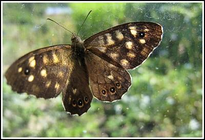 brownbutterfly copy