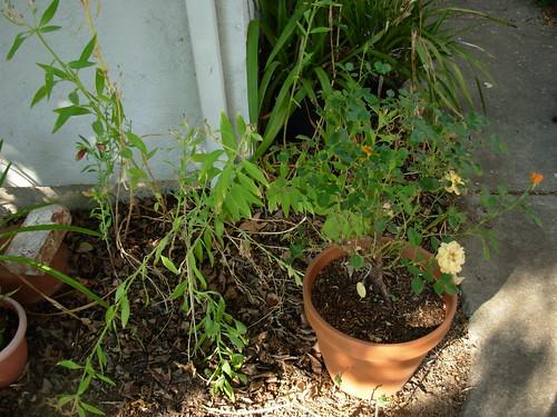 garden shots aug 08 043