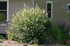 Butterfly Bush (Buddleja davidii) 'White Profu...